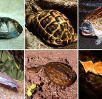 Как выбрать черепаху сухопутную для дома
