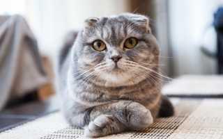 Двухнедельные вислоухие котята