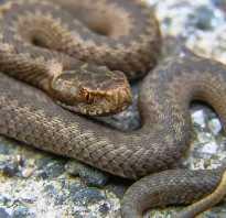 Какие змеи водятся в крыму фото