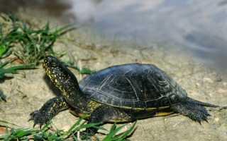 Английские клички для черепах
