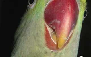 Размножение ожереловых попугаев