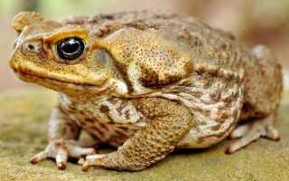 Отличие лягушки от жабы