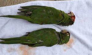 Могут ли попугаи умереть от скуки