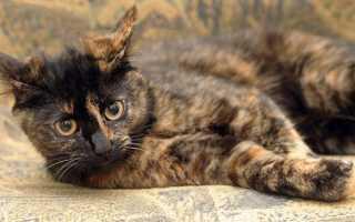 Кот черепашьего окраса