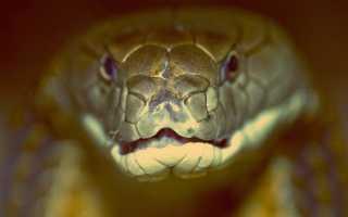 Кобра фото змеи