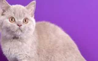 Чем кормить шотландского котенка 6 месяцев