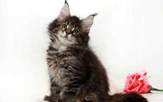 Мейн кун кошки чем кормить
