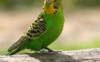 Заболевания волнистых попугаев симптомы