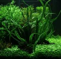 Кринум содержание в аквариуме: фото-видео обзор