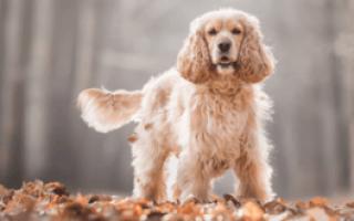 Американский кокер спаниель: характеристика и описание породы, уход и содержание, характер собаки