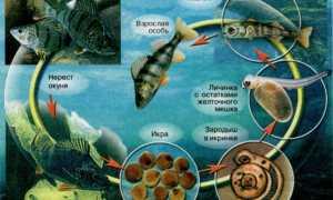 Как размножаются рыбы: особенность, готовность к размножению и нерест