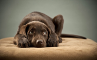 Собаку рвет желтым и понос