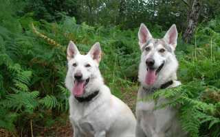 Северный инуит: описание породы собак, похожей на волка