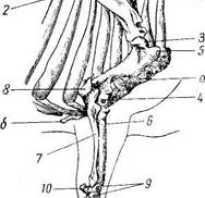 Кости грудной конечности собаки