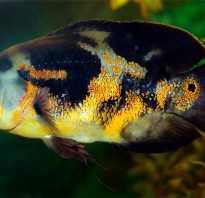 Рыбки астронотусы фото