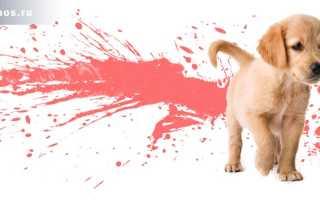 Кровавый понос у щенка ростов