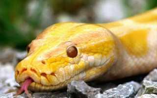 Огромная желтая змея