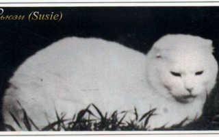 Стандарт шотландской вислоухой кошки