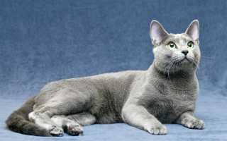 Сибирская голубая кошка: есть ли такая порода?