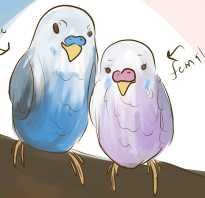 Как понять попугай мальчик или девочка