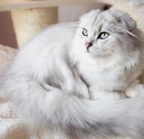 Шотландский кот хайленд фолд
