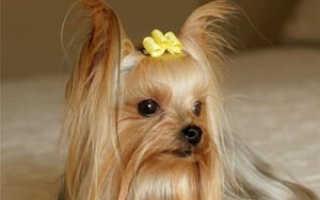 Порода собак йорк