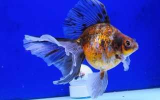 Вуалехвост аквариумная рыбка: содержание и фото-видео обзор
