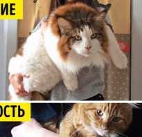 Самая крупная порода кошек мейн кун