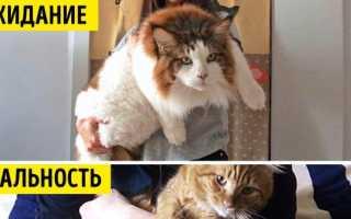 Самые большие кошки домашние мейн