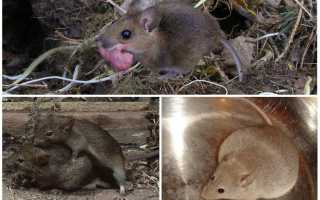 Размножение мышей в природе