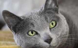 Русско голубая порода котов