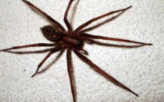 Домашний паук википедия