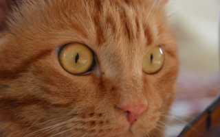 У котенка гноятся глаза: чем лечить в домашних условиях, коричневые выделения из глаз