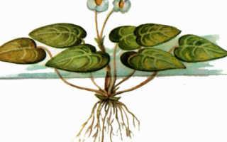 Водокрас лягушачий или обыкновенный для водоемов: описание, цветение, фото-видео обзор