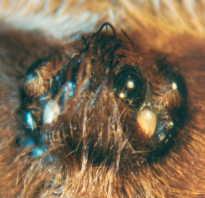 Паук брахипельма ваганс
