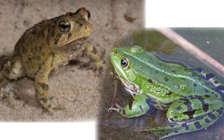 Сравнительная характеристика лягушки и жабы