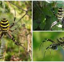 Гигантский паук охотник heteropoda maxima