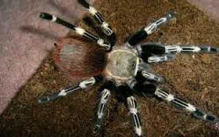 Чем кормить пауков в домашних условиях