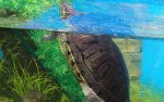 Виды черепах для домашнего содержания