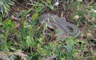 Ядовитые змеи крыма фото и описание