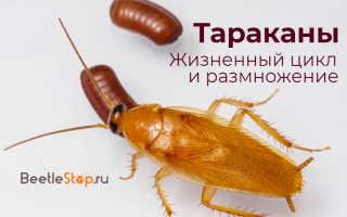 Сколько растут тараканы