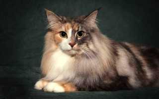 Кошки метисы: плюсы и минусы, отличия от обычных и откуда они берутся, как отличить от породистых