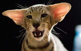 Лопоухие кошки порода фото