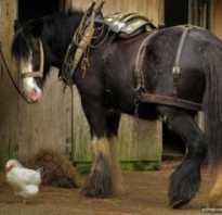Советский тяжеловоз порода лошадей фото