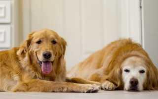 Рыжая собака среднего размера порода