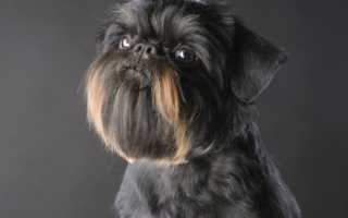 Описание породы собак Бельгийский гриффон с отзывами и фото
