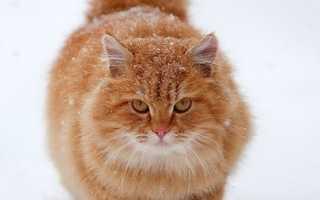 Рыжий окрас у кошек