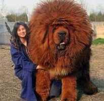 Самый огромный тибетский мастиф