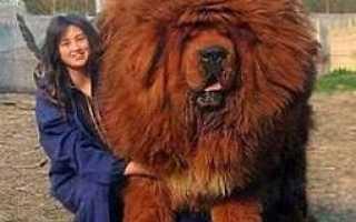 Самая большая собака тибетский мастиф