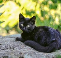 Клички для кошек черного окраса